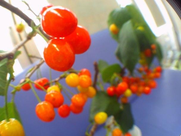 患者様から頂いたさくらんぼの枝です。フレッシュな赤がまぶしい。