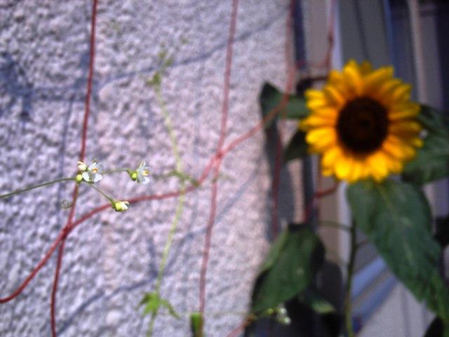 風船鬘の花とひまわり
