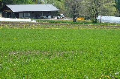 麦畑P1010800
