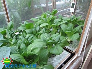 チンゲン菜10・19