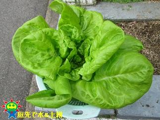 サラダ菜11・6