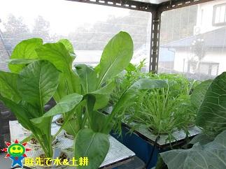 ・水菜11・18 小松菜