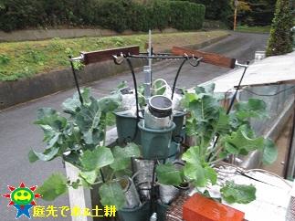 11・26茎ブロッコリー