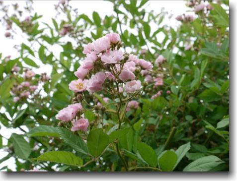 バラピンク小花