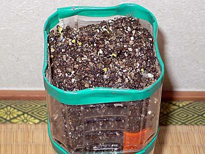 ペットボトル栽培 ベビーリーフ2