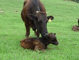 子牛は生まれてまだ一ヵ月くらい、母子の温かいふれあい