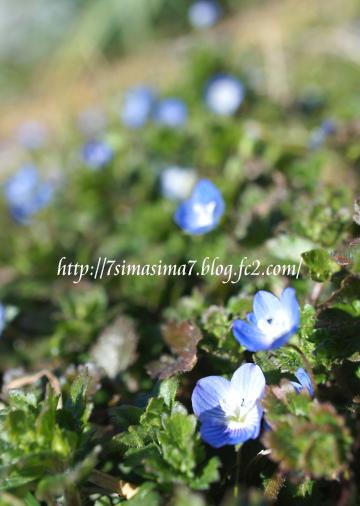青い小さい花