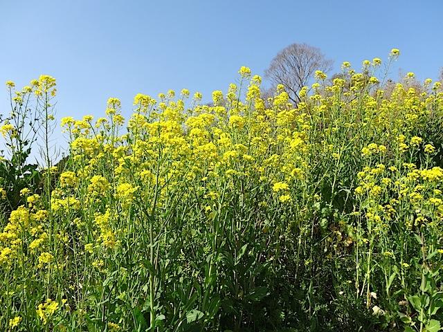 0309菜の花2