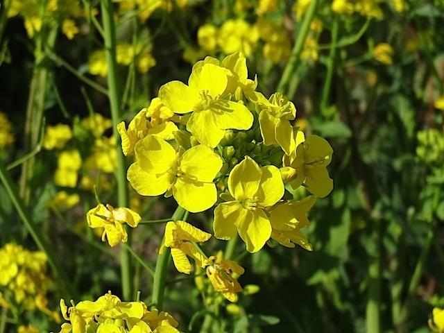 0309菜の花3