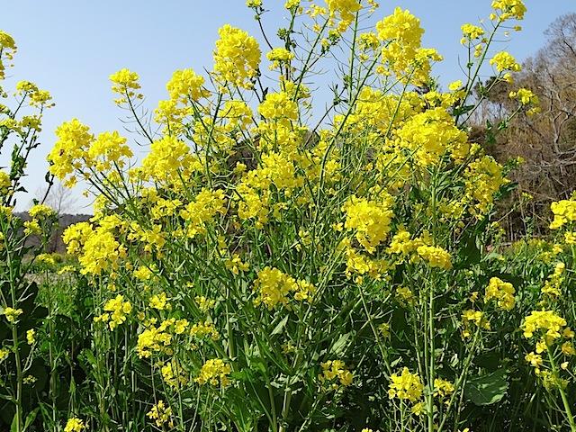 0309菜の花4