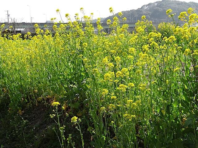 0309菜の花7