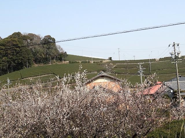 0307茶畑5