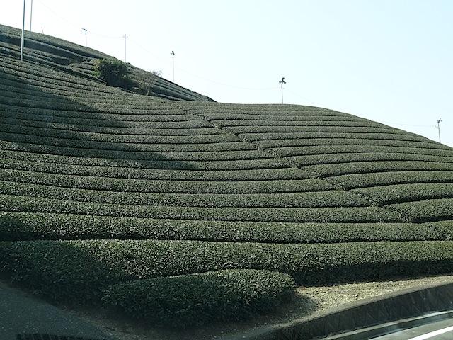 0307茶畑4