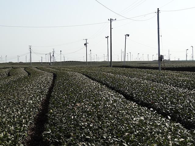 0307茶畑1