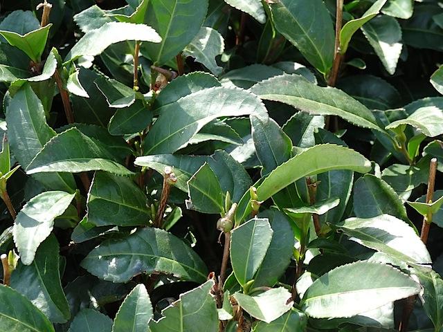 0307茶畑6