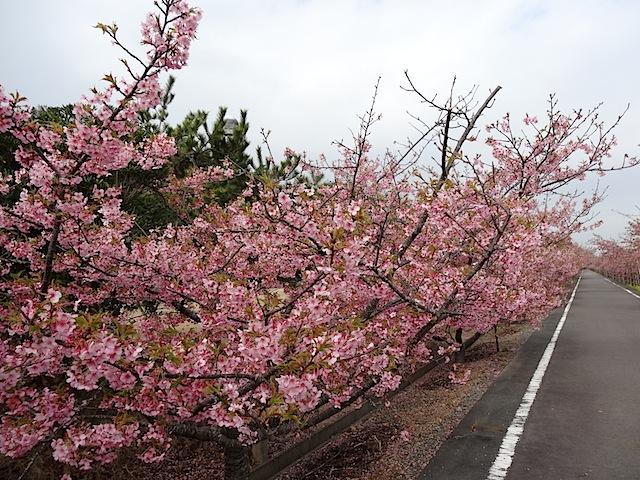 0315河津桜5