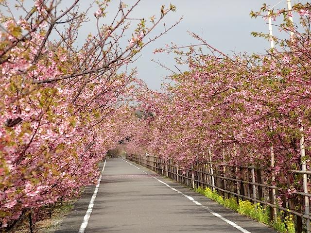 0315河津桜2