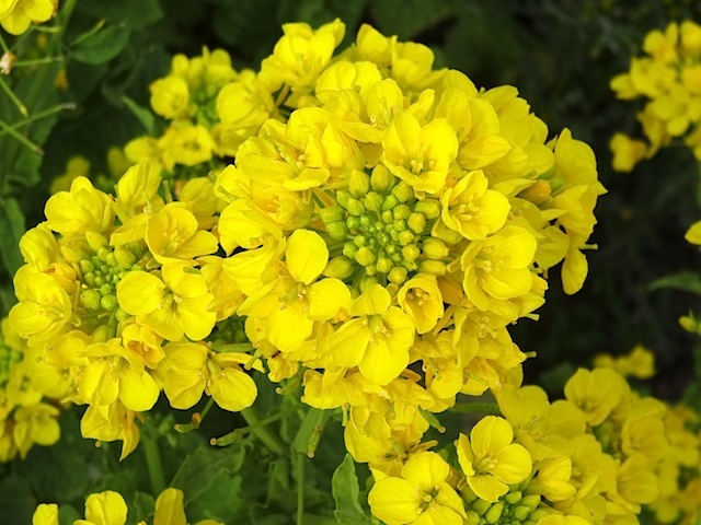 0315菜の花4