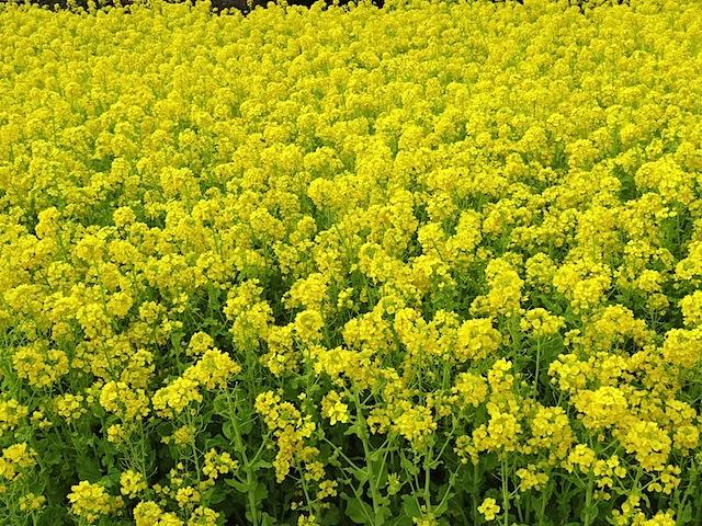 0315菜の花1