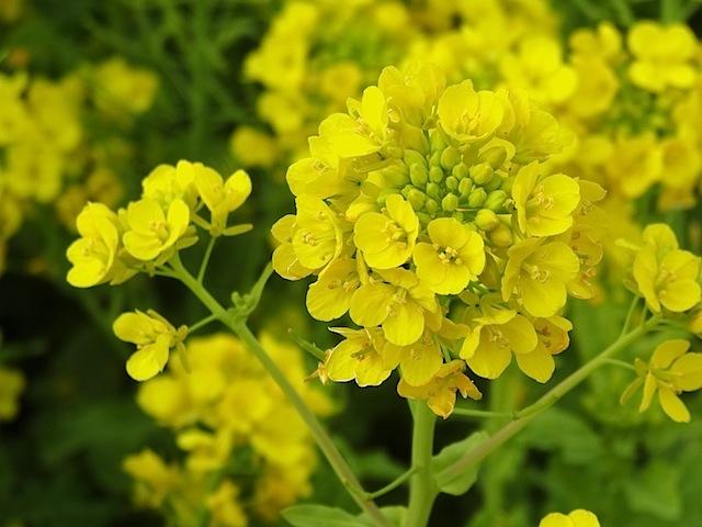 0315菜の花2