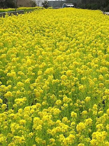 0315菜の花