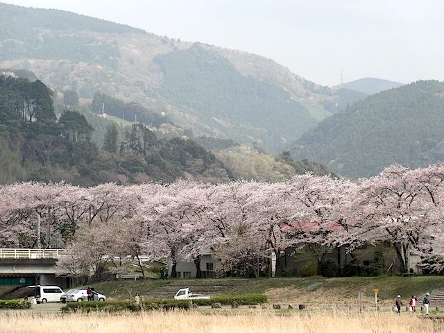 0330桜まつり3