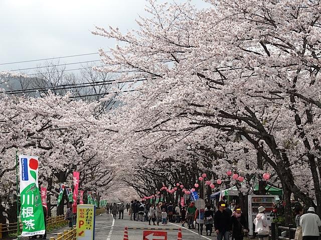 0330桜まつり1