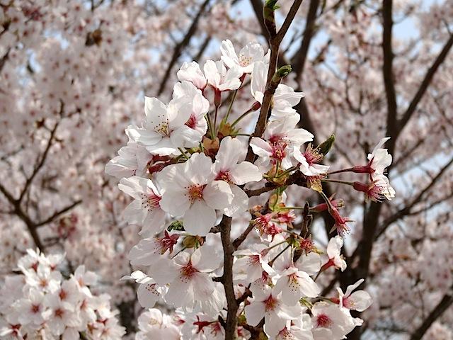0330桜まつり4