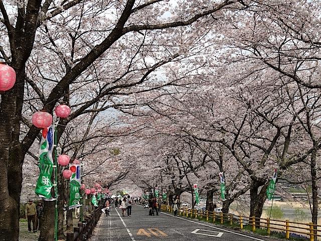 0330桜まつり2