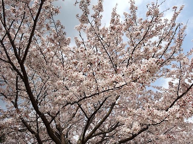 0330桜まつり5
