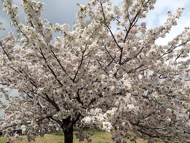 0330桜まつり6