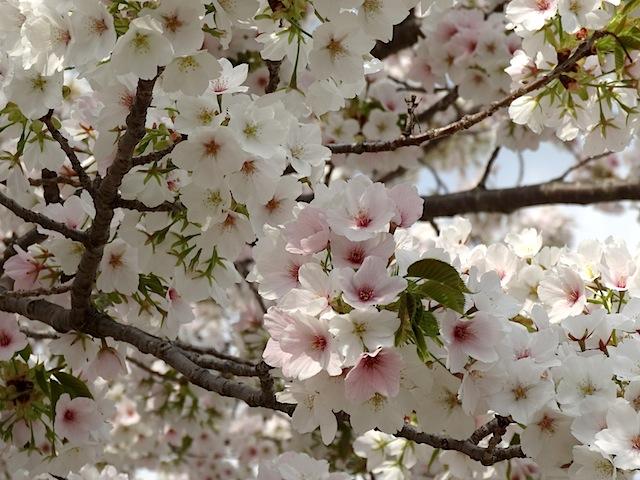 0330桜まつり7