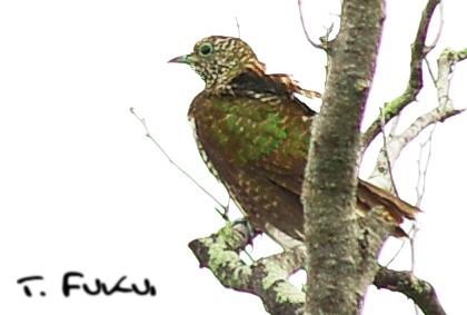 Klaa's Cuckoo