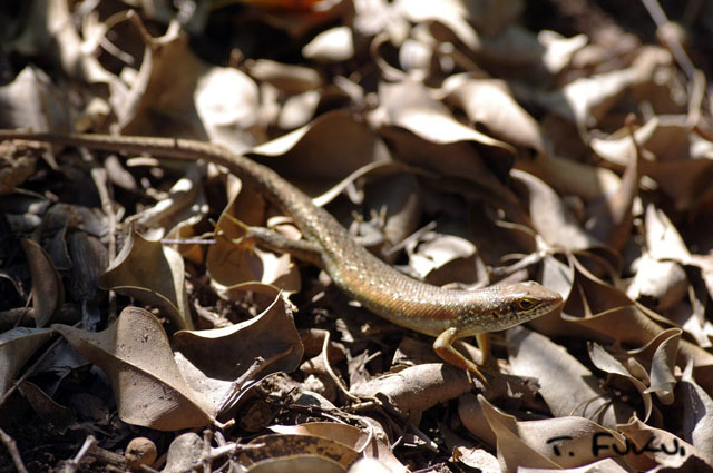 Speckle-lipped skink1