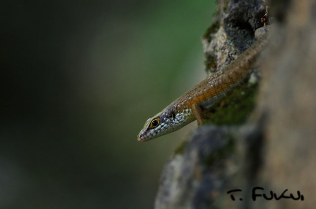 Speckle-lipped skink2