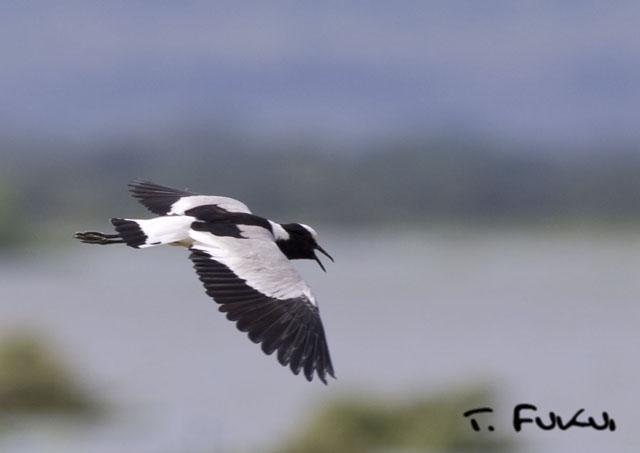 シロクロゲリ飛翔