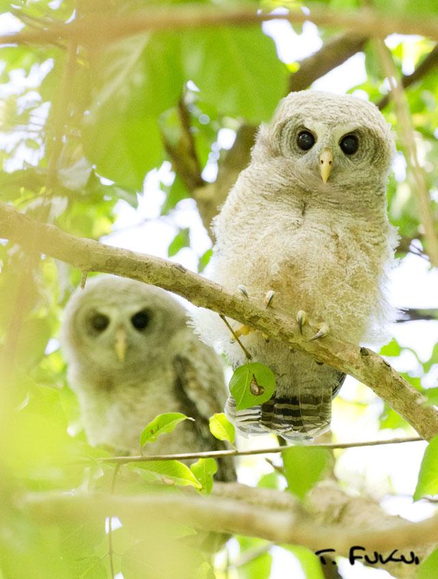 アフリカヒナフクロウ幼鳥