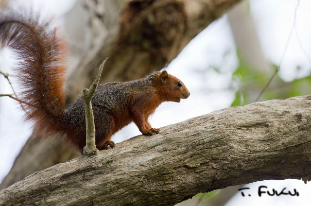Red-bellied coast squirrel