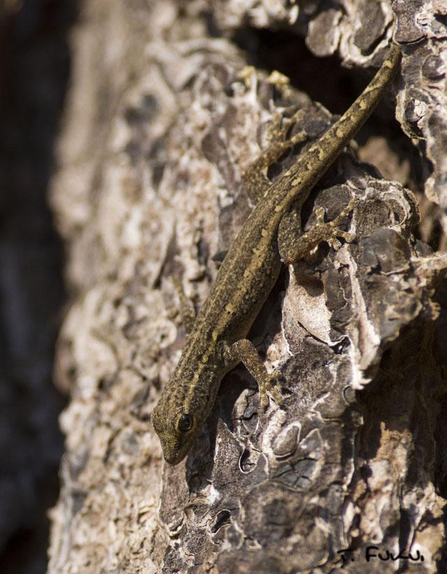 Cape Dwarf Gecko