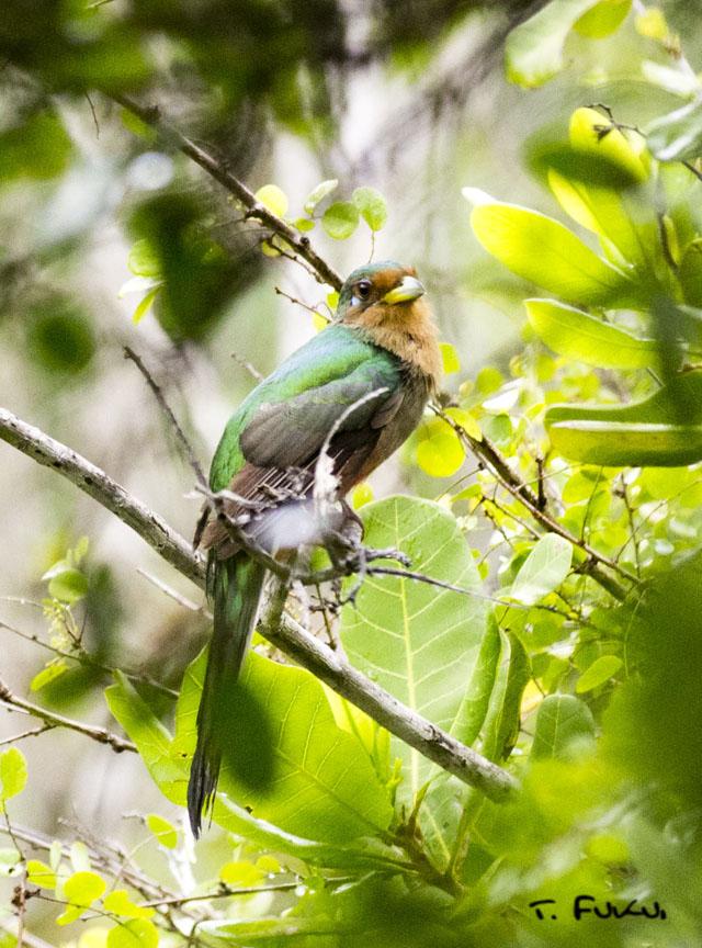アフリカキヌバネドリ
