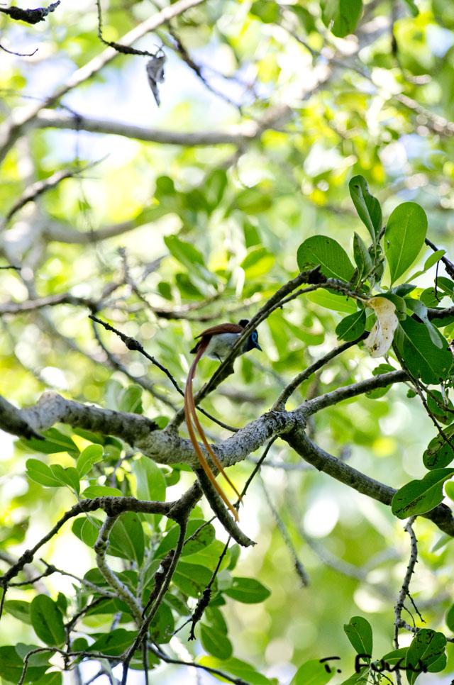 アフリカサンコウチョウ1