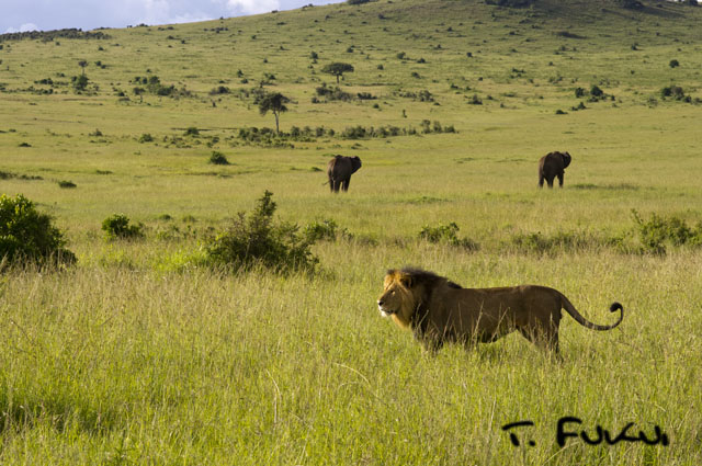 雄ライオンとゾウ