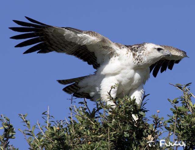 ゴマバラワシ若鳥
