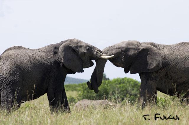 ゾウの力比べ