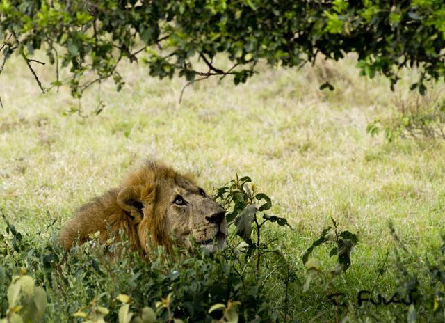 ナクル湖のライオン
