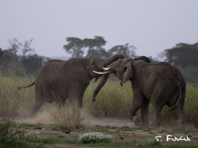 アフリカゾウの闘争