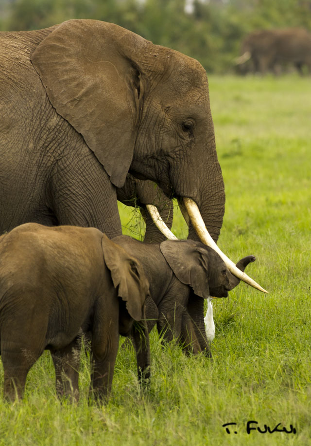 母親に甘える子象