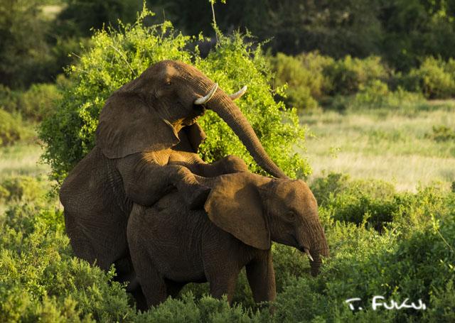 ゾウの交尾
