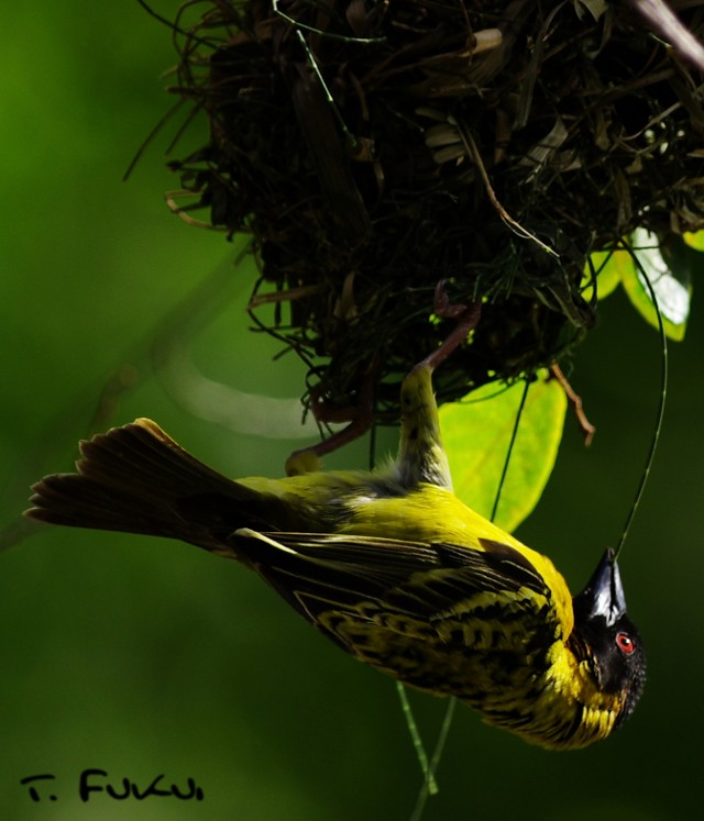black-headed weaver2