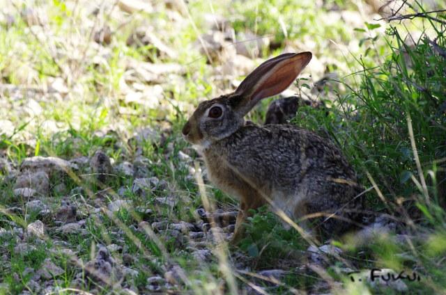 アカクビノウサギ